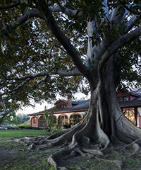 Rancho Los Alamitos Ranch House and Moreton Bay Fig